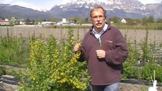 #97 Ribes-areum-Züchtung bei Lubera