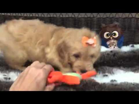 Teddy Bear, Mini Goldendoodle puppy