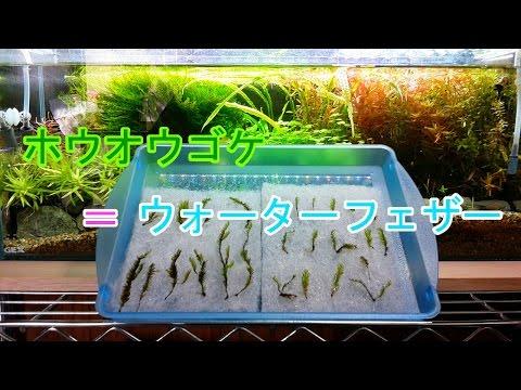 【アクアリウム】60cmスリム水槽 #39 苔の水中化