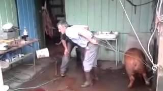 Jak to dwóch debili z siekierą chciało zabić świniaka