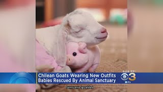 These goats are sporting sweaters, diapers, and all sorts of outfits.