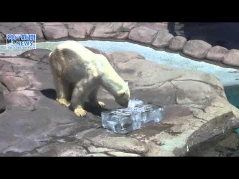 【2011年7月撮影】ホッキョクグマに氷プレゼント