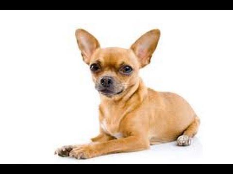 Dog Training for Chihuahua: Weave Poles, Agility Training