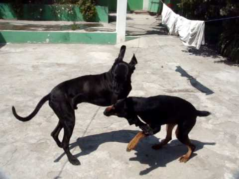 Video Great Dane vs Rottweiler Playing! download in MP3, 3GP, MP4, WEBM, AVI, FLV January 2017