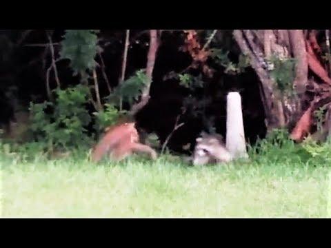 Рысь не ожидала, что еноты могут быть очень воинственными