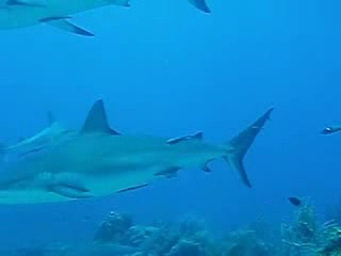 Sharkdive in Honduras 2008