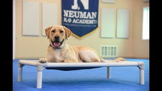 Tugg (Labrador Retriever) graduated from the dog training boot camp at Neuman K-9 Academy. This program included obedience commands to sit, stay, heel or walk on a loose leash, come when called, proper etiquette, no jumping up, meeting and greeting people under control, and running on a treadmill.Our dog training camp provides programs for the Labrador Retriever such as boot camp, obedience training, and puppy camp.Neuman K-9 Academy is a professional canine training school that provides board and train (inboard) for dogs, and fully trained dogs for sale.For more information visit: www.mndogtraining.comLocated in Hugo Minnesota just north of Minneapolis and St. Paul (MN).