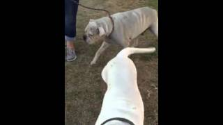 Ziggy - English Bulldog / American Bulldog / Mixed (short coat) Dog For Adoption