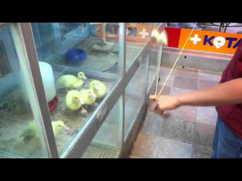 A bunch of tiny ducklings Completely Mesmerized by a Spinning