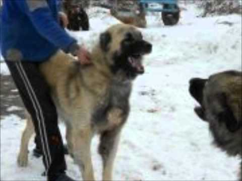 garat e qenve -