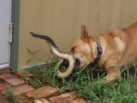 Trận chiến một sống một còn giữa chó và rắn hổ mang chúa