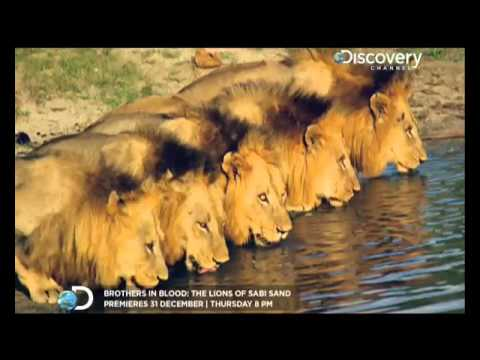 Brother in blood: The Lions Of Sabi Sand - English