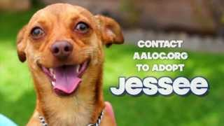 Jessee - Chihuahua / Mixed Dog For Adoption