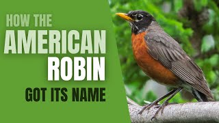 How The American Robin Got Its Name -Did you Know Birding? [HD]