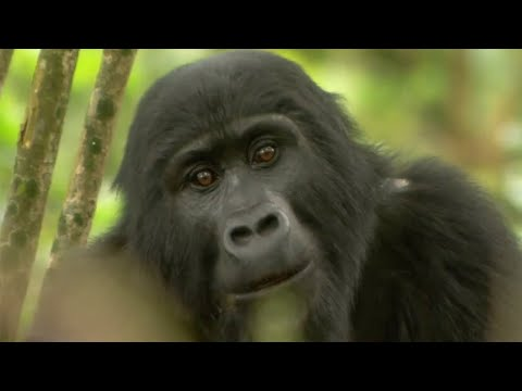 Gorilla Mating | Mountain Gorilla | BBC Earth