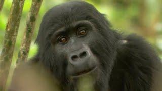 Gorilla Mating | Mountain Gorilla | BBC