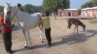 Dasada India  city photos : A glimpse of Rann Riders Stud farm in Dasada village of Gujarat.
