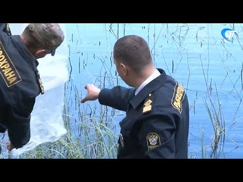 Около 600 тысяч мальков щуки выпустили в 13 озер на территории 7 районов Новгородской области