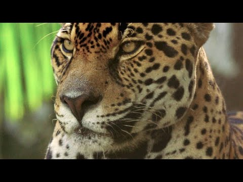 This Footage of Jaguars in Panama Could Save Their Lives (видео)