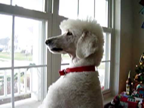Bailey the Standard Poodle, part 1 (видео)