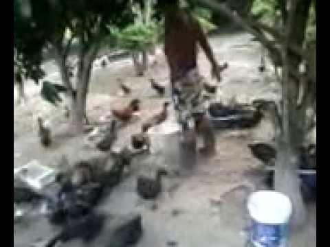 การเลี้ยงเป็ด - การเลี้ยงเป็ดไข่ไล่สวนเป็นการเลี้ยงแบบผสมผสานคือเลี้ยงแบบเกษตรอินทรี...