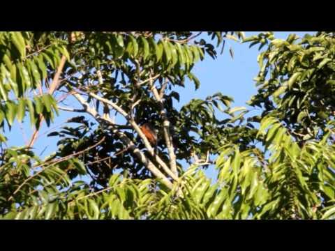 curió (Sporophila angolensis) em Derrubadas