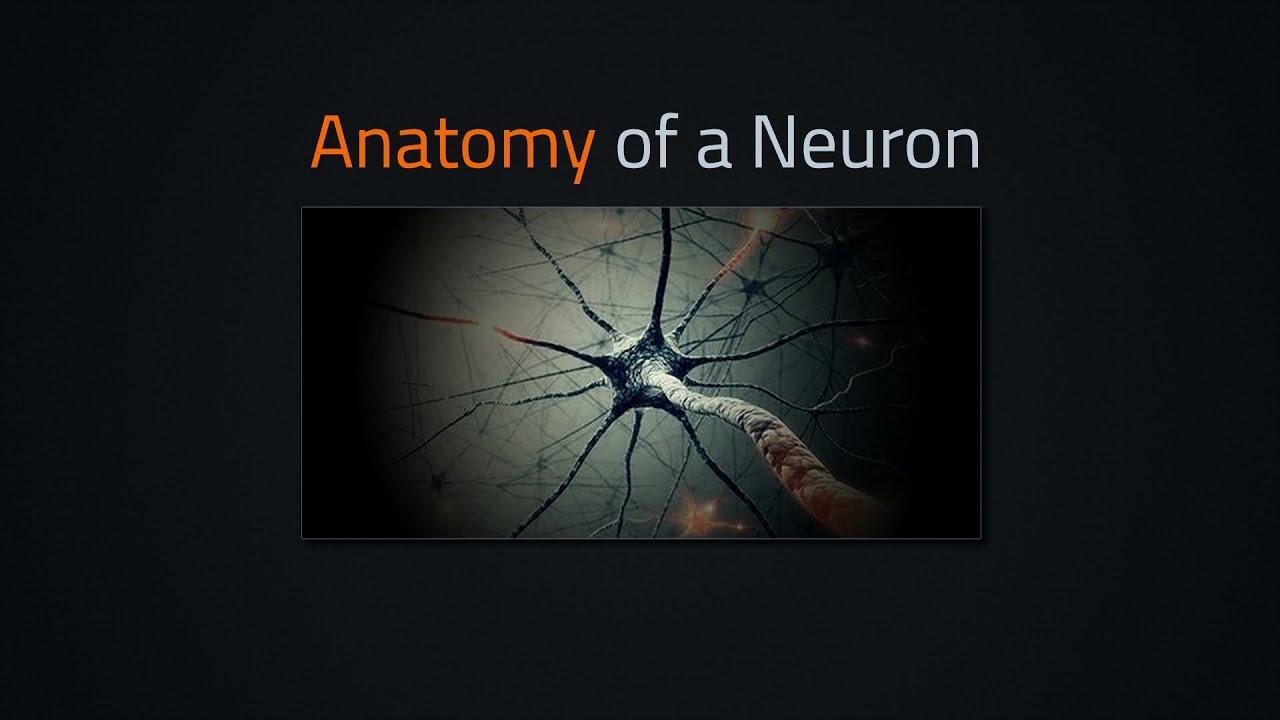 Anatomy of a neuron - lumiverse