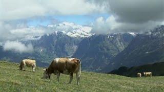 Murren Switzerland  City new picture : Mürren, Switzerland: Cow Culture