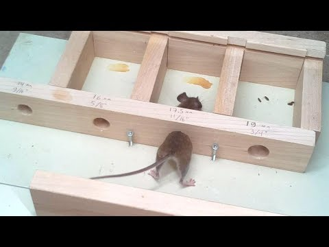 How small a hole can a mouse get through?  Experiments. (видео)