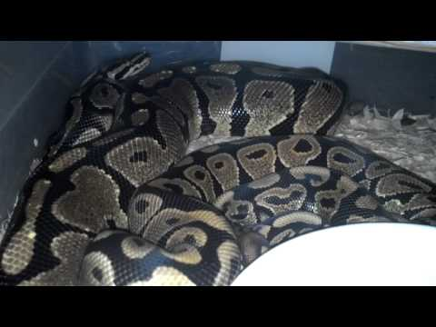 reptileshowtexasstyle - My 66% het pied ringer spotnose ball to my spotnose male i produced early last year.