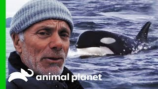 Are Orca Responsible For The Disappearance Of King Salmon? | Jeremy Wade's Dark Waters by Animal Planet