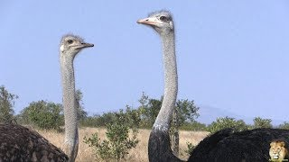 Beautiful Funny Birds - The Ostrich