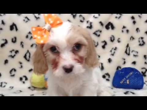 Cute as a button, cava-chon puppy