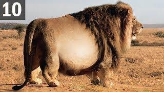 Video Top 10 FATTEST Wild Animals Ever Seen MP3, 3GP, MP4, WEBM, AVI, FLV September 2019