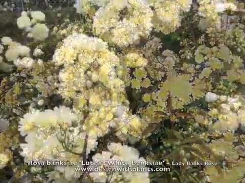 Rosa banksiae 'Lutea','White Banksiae' - Yellow & White Lady Banks Rose