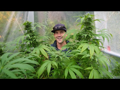 Outdoor Home Grow Ep 5 - Harvest Time!