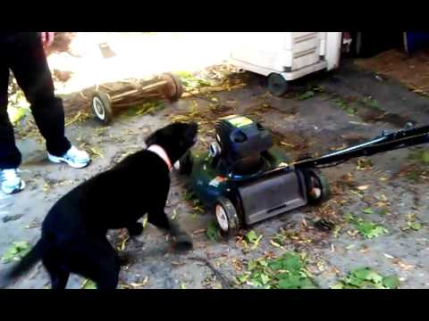 Dog Barks At Flooded Lawn Mower!!