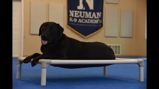 Marvin (Labrador Retriever) graduated from the dog training boot camp at Neuman K-9 Academy. This program included obedience commands to sit, stay, heel or walk on a loose leash, come when called, proper etiquette, no jumping up, meeting and greeting people under control, and running on a treadmill.Our dog training camp provides programs for the Labrador Retriever such as boot camp, obedience training, and puppy camp.Neuman K-9 Academy is a professional canine training school that provides board and train (inboard) for dogs, and fully trained dogs for sale.For more information visit: www.mndogtraining.comLocated in Hugo Minnesota just north of Minneapolis and St. Paul (MN).