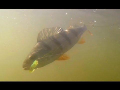 Подводное видео ловли на отводной поводок видео