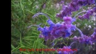 Plants that feed bees, butterflies, and hummingbirds: Blue curls (Trichostema Lanceolatum)