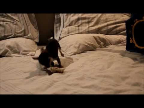 Baby chihuahua playing with rawhide