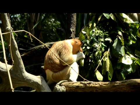 Video Singapore ZOO - Proboscis monkey (long-nosed monkey, bekantan) download in MP3, 3GP, MP4, WEBM, AVI, FLV January 2017