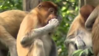 Asyiknya memberi makan Monyet Belanda (Bekantan)