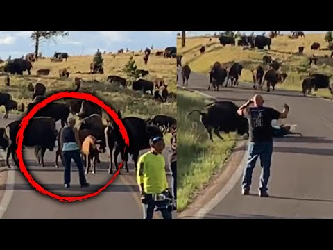 Bison Tosses Woman Out of Her Pants