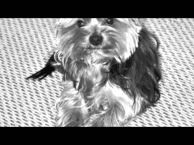 Promenade du petit chien
