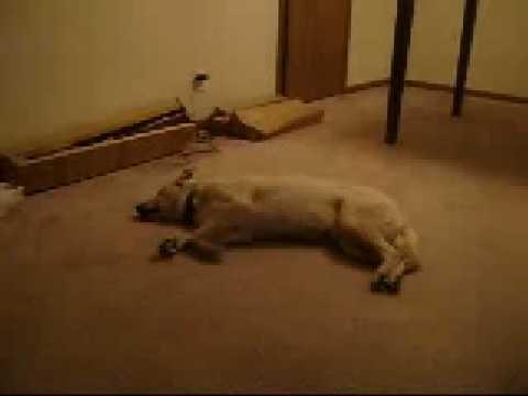 Hund träumt und fängt an zu laufen