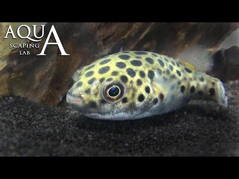 acquariofilia - pesce palla d'acqua dolce!