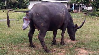 Video มาลุ้นกันกับควายคลอดลูก|ควายพันธุ์ไทยใหญ่ท้องแก่จะเบ่งแร่ะขยายสายพันธุ์ควายไทยใหญ่ baby buffalo thai MP3, 3GP, MP4, WEBM, AVI, FLV Juli 2019