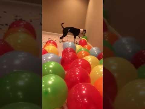 pit-bull-adottato-festeggia-il-suo-compleanno-nel-modo-che-ama-di-piu