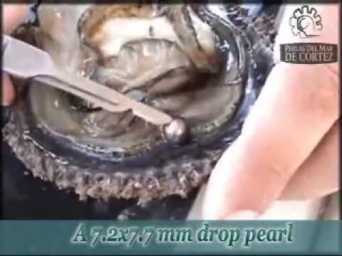 pearl - This video depicts the actual extraction of natural pearls from live Rainbow Lipped Oysters that were grown in a Pearl Farm in Bacochibampo Bay, Guaymas, Son...